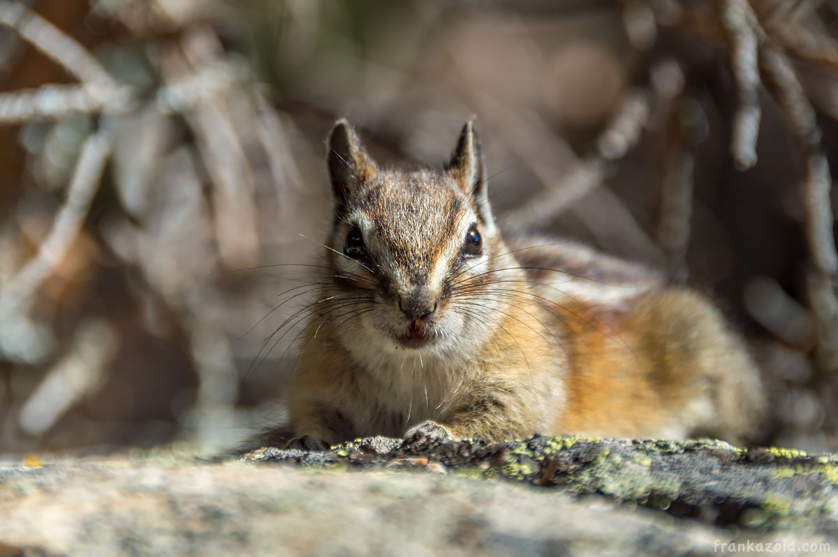Big Alaska trip: part 6, Arizona, 2017 photo: cute chipmunk