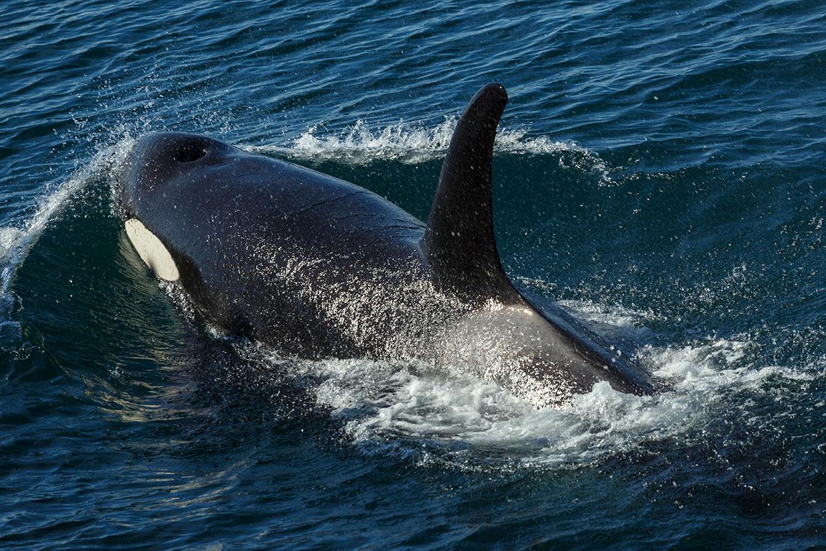 Kenai Fjords killer whale