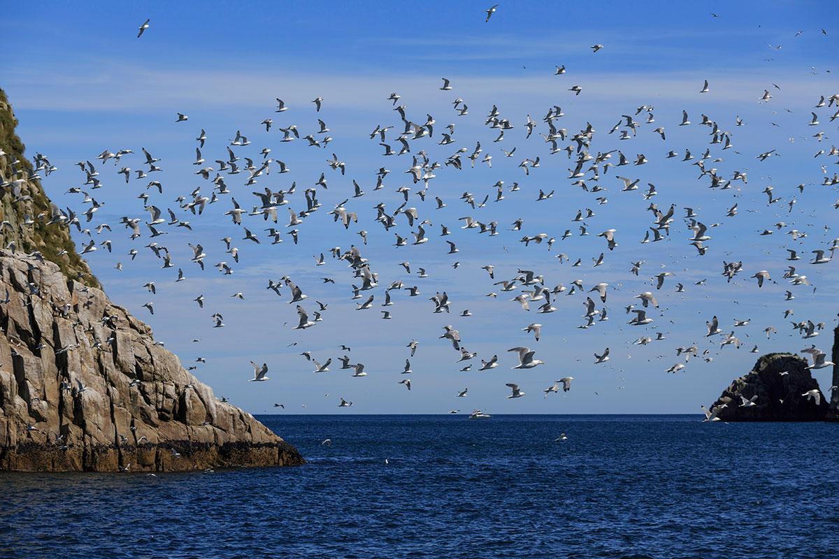 Kenai Fjords seagulls