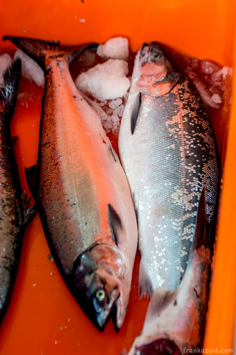 Seward Alaska salmon fish