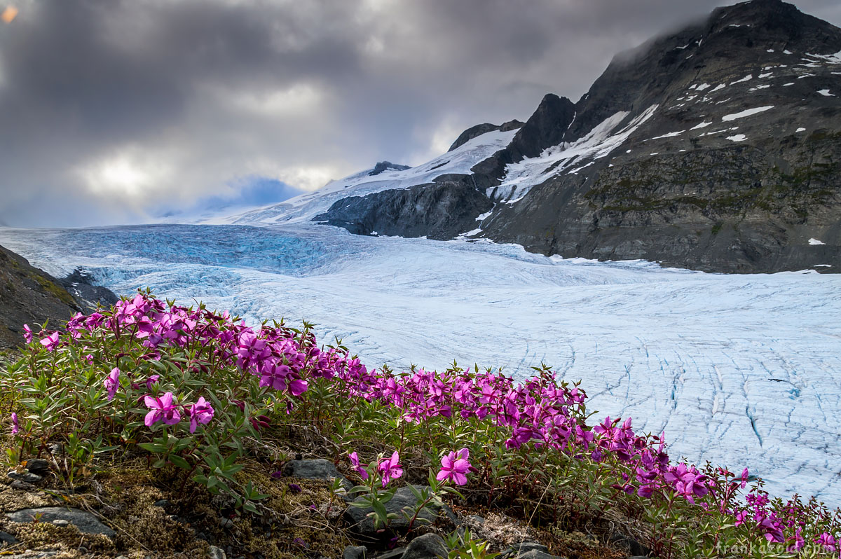 Worthington glacier purple flowers