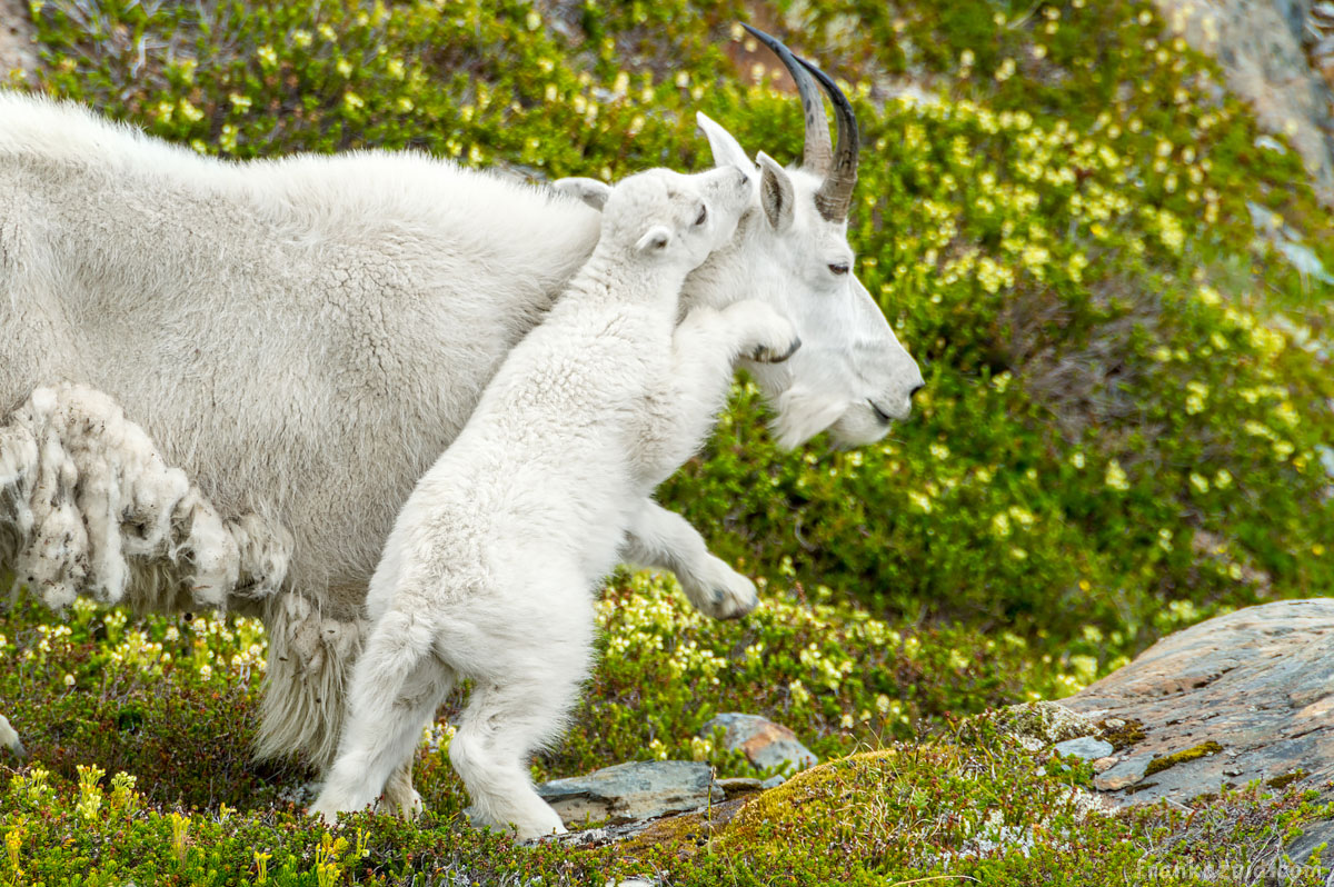 Goat cub playing with mom