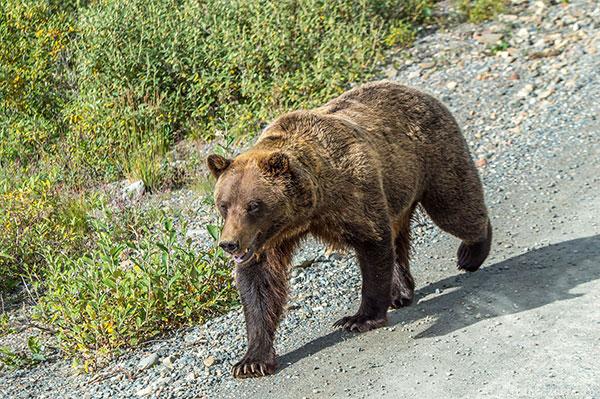 Big Alaska trip, part 12: Denali national park, Alaska, USA, 2017 photo