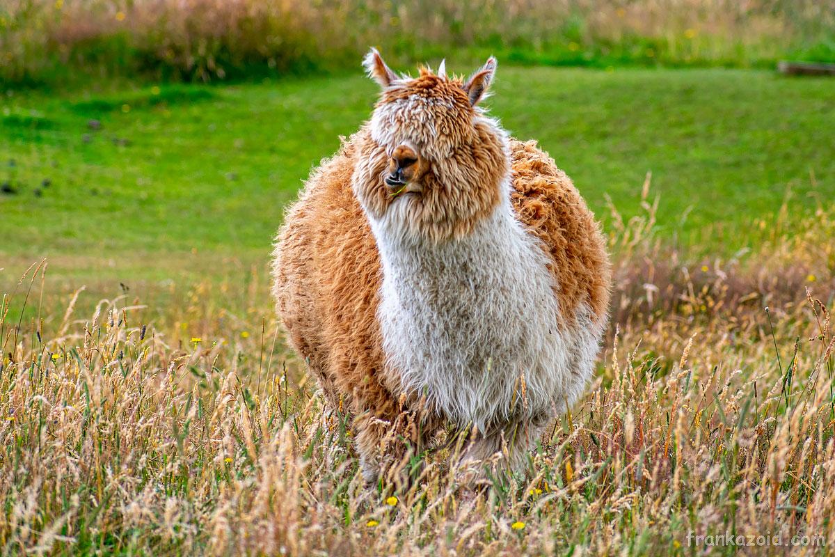 Лучшая меховая лама в Новой Зеландии